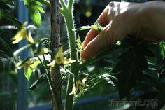 Формирование томатов — пасынкование