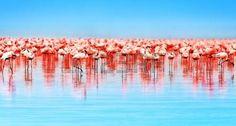 kenya:  Flamingo birds in the lake Nakuru, African safari, Kenya