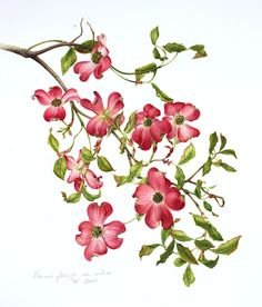 Botanical illustration of cornus Florida by Milly Acharya