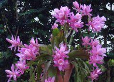 Disocactus phyllanthoides