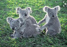 Koala trio
