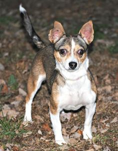 Stella is an adoptable Rat Terrier searching for a forever family near Spring Lake, NJ. Use Petfinder to find adoptable pets in your area.