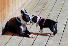 Here is a photo of two Boston Terriers named Lily and Berklee weeks old) from Oklahoma City, OK. Lily and Berklee sharing a friendly sniff on the back porch. Terrier Breeds, Terrier Puppies, Pitbull Terrier, Dog Breeds, Bulldog Puppies, Havanese Dogs, Boston Terrier Names, Boston Terrier Love, Boston Terriers