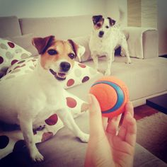 Hilkka and Pena, always playing with the ball. Photo by Aino Y.