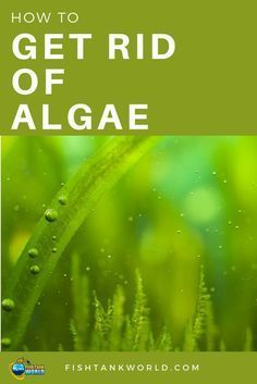Algae Control – How to Get Rid of Algae in Your Fish Tank Get rid of algae is a common problem among aquarists. There are many types of algae and many way to get rid of them and maintain the aquarium clean. Aquarium Algae, Tropical Fish Aquarium, Tropical Fish Tanks, Aquarium Fish Tank, Planted Aquarium, Fish Aquariums, Tanked Aquariums, Aquarium Kit, Nature Aquarium