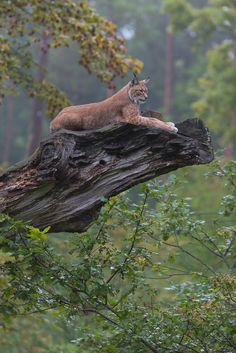 Eurasian lynx by Peter Weimann on 500px