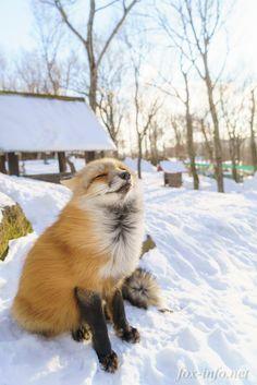Red Fox | fox-info.net - foxinfonet - fox_info_net …