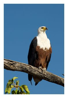 African Fish Eagle, Moremi Game Reserve, Botswana, July 2008 by Ignacio Palacios on 500px