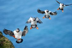 Multiple exposure of an Atlantic puffin returning to its nest site at the top of a cliff in Shetland, Scotland