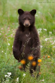A cinnamon Black Bear cub breaks from gorging on wildflowers and strawberries to take a look at  the photographer in the mountains of Manning Provincial Park, British Columbia, Canada.