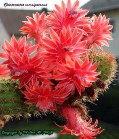 en Flor *¨*✿ ❥ڿڰۣ— Hildewintera Aureispina - Exotic Plants, Exotic Flowers, Red Flowers, Beautiful Flowers, Cactus E Suculentas, Cactus Planta, Cacti And Succulents, Planting Succulents, Planting Flowers