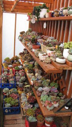 amor a primera vista Succulent Arrangements, Cacti And Succulents, Planting Succulents, Cactus Plants, Garden Plants, Indoor Plants, Plante Carnivore, Plant Nursery, Fruit Tree Nursery