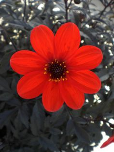 Dahlia Mystic Enchantment.. my fav 2017!! deep mahogany to black foliage topped with masses of rich flower coloured blooms. They have strong sturdy stems and do not require staking. Enchantment has bright fire engine red blooms with beautiful dark centers. The Mystic Dahlia series are low maintenance and are ideal for containers, borders and garden beds