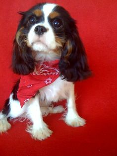 I think I need a THIRD Cavalier and this time a tri-colored!  LOVE Cavaliers!!!