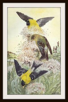 Chardonneret jaune livre imprimer (1932), sticker copie, les ornithologues cadeau, jaune vert noir, Accessoires décoration Nature, photo d