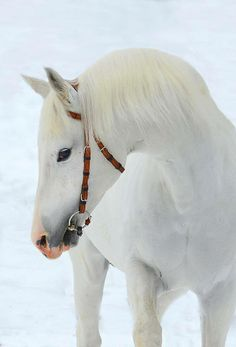 Winter beauty, Winter, horse, hest, animal, beautiful, gorgeous, photo.