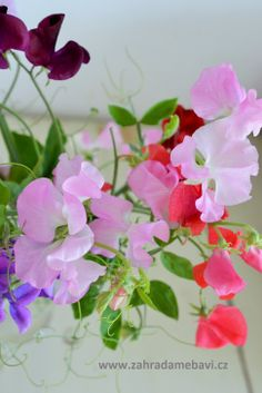 Lathyrus odoratus Sweet Pea Flowers, Oh Beautiful, Bouquet, Tiny Rings, Sweet Peas, Watercolor Techniques, Early Spring, Lighthouses, Tissue Paper