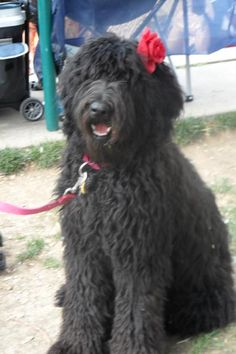 black f1b labradoodle: She'd make a great girlfriend for Shadow. He looks just like her when his coat is long.
