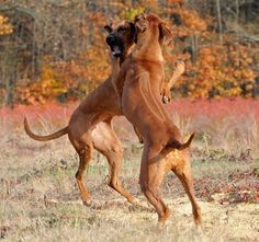 Ridgebacks doing what they do best... Play