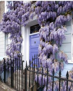 Wisteria Hysteria in Kensington, London. Did they paint the doors to match the wisteria?
