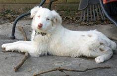 Reni #13166 is an adoptable Australian Shepherd Dog in Douglasville, GA. Reni is fostered in Douglasville GA Reni is a 4 month old female double merle Australian Shepherd . She may be hearing and visu...