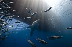 Great White Shark Photo by Marc Henauer — National Geographic Your Shot The Great White, Great White Shark, Guadalupe Island, National Geographic Photo Contest, Cool Pictures, Cool Photos, Costa, Shark Photos, Vida Natural