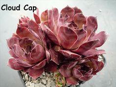 Sempervivum 'Cloud Cap'