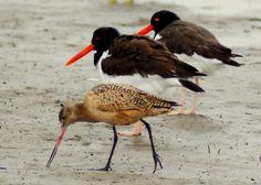 Galveston Shore Birds