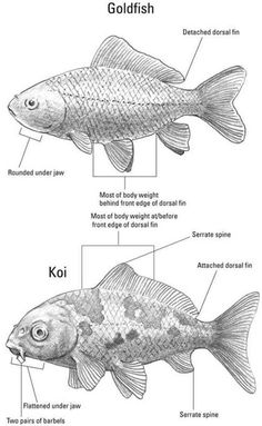 "Koi fish are the domesticated variety of common carp. Actually, the word ""koi"" comes from the Japanese word that means ""carp"". Outdoor koi ponds are relaxing. Goldfish Care, Goldfish Pond, Freshwater Aquarium, Aquarium Fish, Betta, Fish Information, Koi Art, Ponds Backyard, Backyard Aquaponics"