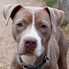 Adoptable Dog: Alaska - Pit Bull Terrier Mix (Austin TX)