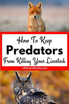 How To Stop Predators From Killing Your Animals On Your Homestead. What are the top predators and how to you keep them off your homestead. How to protect your chickens and ducks and all your livestock from animal predators. What are some of the top predators and what is the best defense against them. Predator control with livestock protection dogs, fencing and proper coop building. #homestead #chickens #ducks