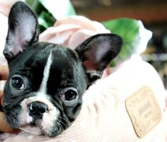 Miniature french bulldog puppies for sale! We ship, very safe! Easy financing available!!! visit our website teacuppuppiesstore.com or call 954-353-7864.