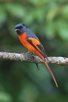 Scarlet Minivet (male). tropical southern Asia from the Indian subcontinent east to southern China, Indonesia, and the Philippines.