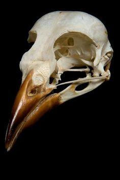 Skull Bird Skull Skull belonging to an unknown American bird species, possibly Cow Bird.Bird Skull Skull belonging to an unknown American bird species, possibly Cow Bird. Animal Skeletons, Animal Skulls, Skeleton Bones, Skull And Bones, Bird Skull, Skull Art, Eagle Skull, Bird Bones, Skull Reference