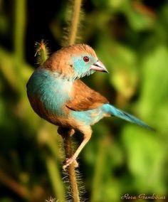 Red-cheeked Cordon-bleu (Uraeginthus bengalus) - female juvenile