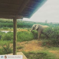 Imagine being woken up by a grazing elephant - just outside your bedroom window. How did you wake up this morning?  #atguvon #elephant #wokenbyanelephant #wakeywakey #riseandshine #bushlife #gowild #nature #closeenoughtotouch #unreal Thanks for sharing this awesome pic of your stay @lennie.muller  #Repost @lennie.muller with @repostapp ・・・ Amazing to wake up with a elephant by our window. Thanks for an amazing weekend Askari Game Lodge & Spa! So bederf! #afternoonnap #honeymoon #askarilodge… Game Lodge, Woke Up This Morning, Afternoon Nap, Hotel Spa, Lodges, Awesome, Amazing, Elephant, Window