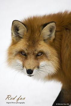 Red Fox by Michel Roy