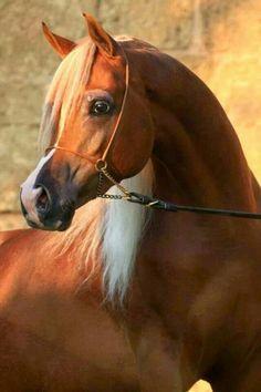 Solaz. Chestnut Arabian