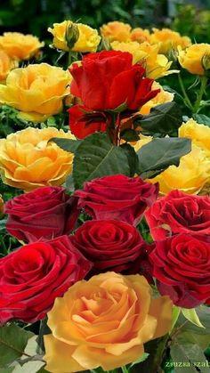 ReaĹ & BēåÜŤýFūĹ LøvÈLy Rø§ē§ updated their cover photo. Beautiful Flowers Images, Beautiful Flowers Wallpapers, Exotic Flowers, Beautiful Roses, Pretty Flowers, Colorful Flowers, Spring Flowers, Wallpaper Nature Flowers, Rose Flower Wallpaper