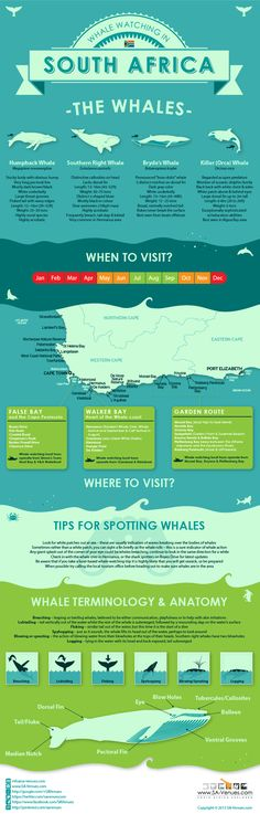 Whale watching infographic for South Africa  #travel #tourism #southafrica #whalewatching