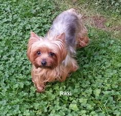 YORKIES INC. PLACEMENT SERVICE P O Box Taunton, MA 02780 Contact this Organization ABOUT RIKKI Rikki is a beautiful 6 year old female Yorkie who weighs around 9 lbs but could stand to loose a couple of pounds. She is very friendly and gets along well with other dogs. Rikki will use a pee pad if in a contained area, but will need further work on house training. If interested in being considered for Rikki please submit an application to www.yorkiesinc.com