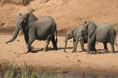 The elephants came down the hill - photo sequence by Stephan Munster  #Elephant #LionSands #MOREsafari #elephants