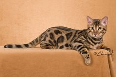 Boyds Bengals of Savannah - Bengal Cat Breed