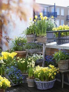 Spring bulbs grouped in various containers make an attractive focal point