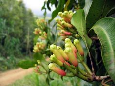 flowering clove bud.  clove is one of the tropical spices that grows in many parts of bali, especially the central part, like munduk village.