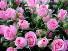 """Giving Pink Roses also mean """"Perfect Happiness!"""" …You can give Roses and all Flowers with their meaning. Find out about more color meanings, in my Book RENDEZVOUS Pleasing Her, pages 186 - All Flowers, My Flower, Pretty Flowers, Bloom, Gif Rose, Nature Rose, Rosa Rose, Coming Up Roses, Beautiful Roses"""