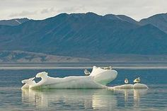 Gulls perch on the last of the melting summer ice, at Pond Inlet, Nunavut, Canada / ©: Andrew S. Sea Ice, Gulls, Antarctica, Marine Life, Conservation, Habitats, Pond, Canada, Places