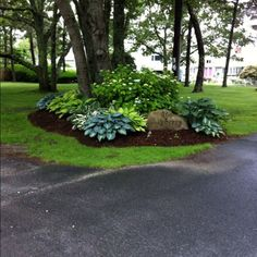 treetside hostas. gorgeous.