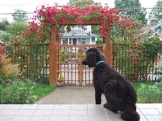 Trellis gate with climbing roses