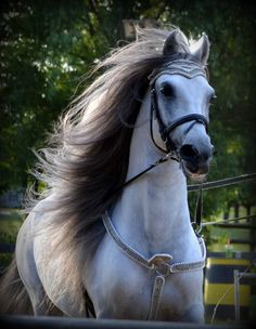 tickled-fancy - Fairwinds Farm & Stables, Inc. Beautiful Arabian Horses, Most Beautiful Horses, Majestic Horse, All The Pretty Horses, Animals Beautiful, Cute Animals, Majestic Animals, Horses And Dogs, Cute Horses